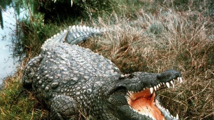 Ein Krokodil hat in Sri Lanka einen 24-jährigen Mann aus Großbritannien getötet (Symbolfoto). (Foto)