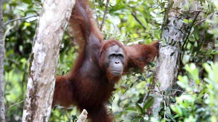 Orang-Utan-Bordelle sind in Indonesien keine Seltenheit.