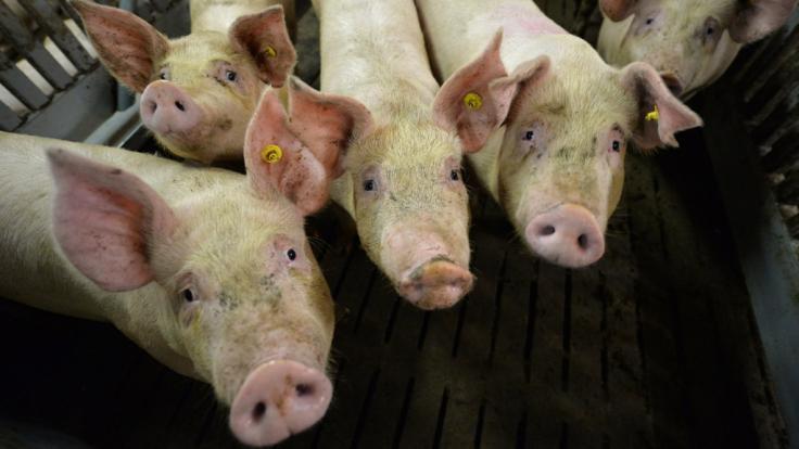 Ein Schweinderl aus Cölbe floh vor dem Schlachter und stoppte damit ein Golfturnier.