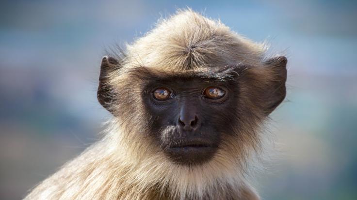 In Indien hat ein Affe ein Baby tödlich mit einem Stein verletzt. (Foto)
