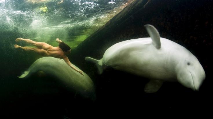 Natalia Avseenko tauchte in eiskaltem Wasser mit Beluga-Walen. (Foto)