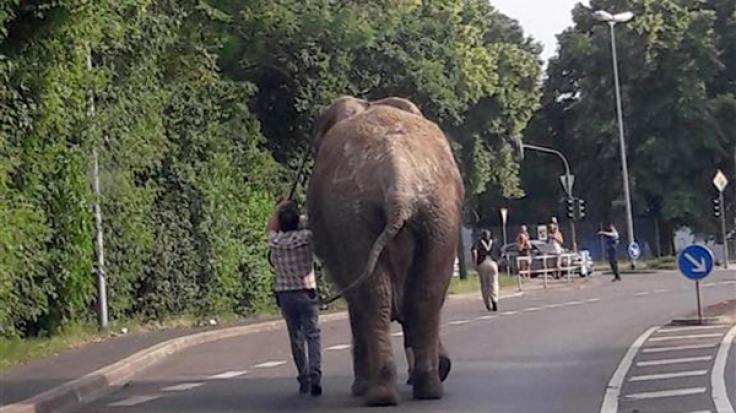 Zirkuselefant Kenia riss aus, wurde aber wieder eingefangen